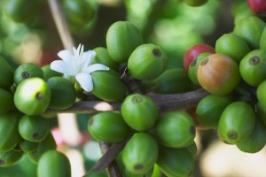 Flower and Coffee Cherries