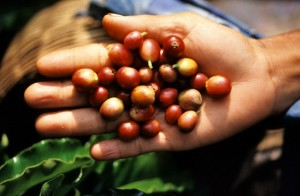 Bali, Indonesia --- Indonesia, Bali, coffee beans --- Image by © Maisant Ludovic/Hemis/Corbis